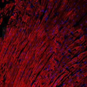 IHC-P of rat heart tissue (dilution at:1:200) using Connexin-37 antibody