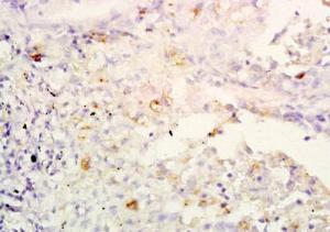 Anti-IL32 Rabbit Polyclonal Antibody