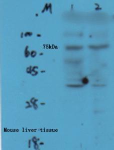 Anti-COL10 Rabbit Polyclonal Antibody