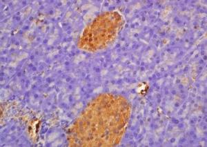 Immunohistochemical analysis of formalin-fixed paraffin embedded Rat pancreas tissue using PFKL (phospho-Ser483) antibody (dilution at 1:200)