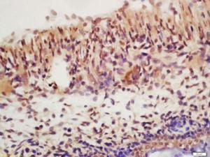 Immunohistochemical staining of mouse embryo tissue using SHIP1 antibody.