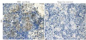 IHC-P staining of rat lung tissue using anti-CD31 (dilution at 1:100)