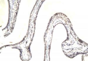 Immunohistochemical staining of paraffin embedded rat eye cornea tissue