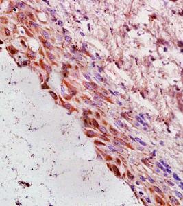 IHC-P of rat ovary tissue (Cyclin G antibody at 1:300)