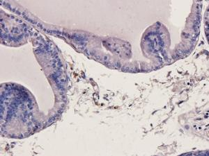Immunohistochemical staining of rat prostate tissue using MMP3 antibody (2.5 ug/ml)