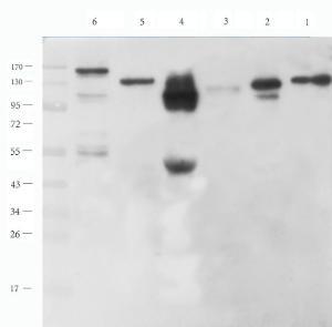Western blot analysis of rat heart (lane 1), mouse brain (lane 2), mouse spleen (lane 3), rat pancreas (lane 4), mouse testis (lane 5), U251 cells (lane 6) using N Cadherin antibody (1 ug/ml)