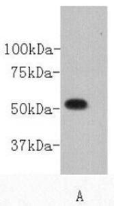 Western blot analysis of PC12 cell using CD27 antibody