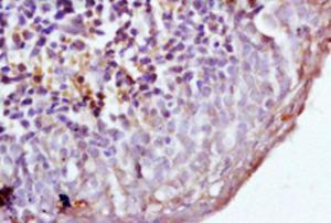 Immunohistochemical analysis of formalin-fixed paraffin embedded mouse spleen tissue using Dectin 1 antibody